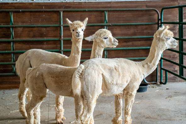Alpacas could be the secret weapon against COVID-19
