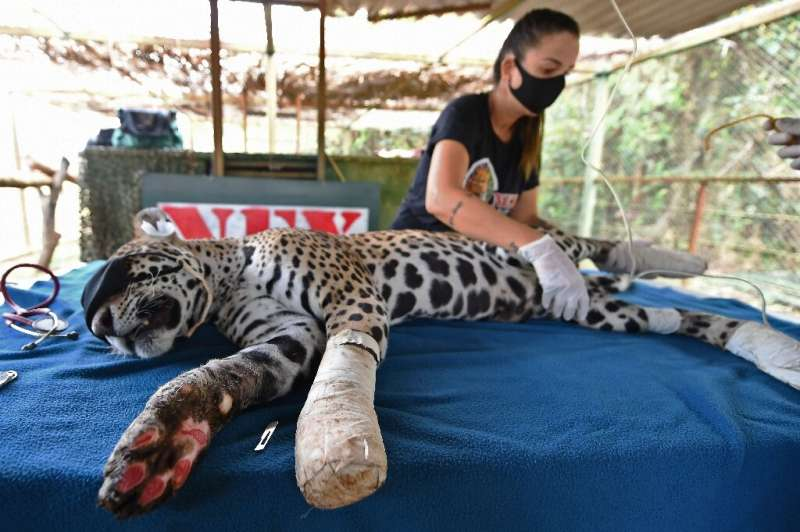 Amanaci, an adult female jaguar that had its paws burnt during fires in Pantanal, recieves stem cell treatment at the Nex Instit
