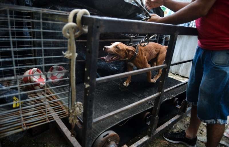 A man trains his dog for an illegal fight—which often attract big bets in Cuba