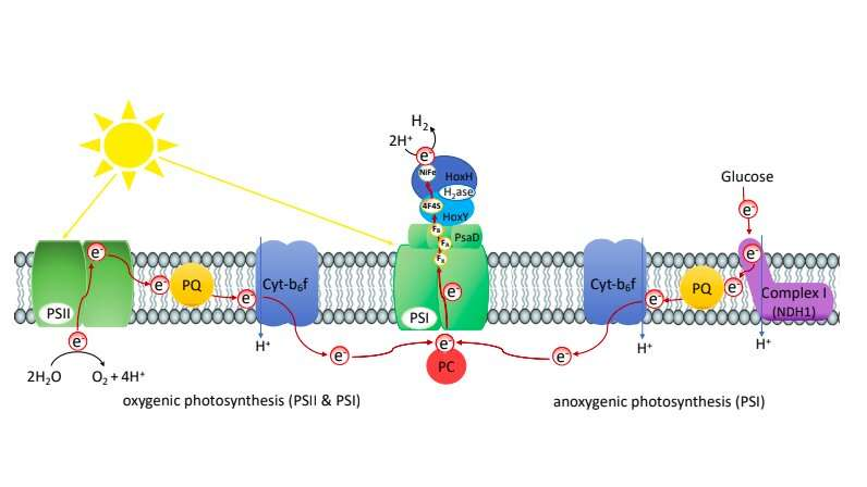 A method to produce hydrogen in vivo photosynthetically