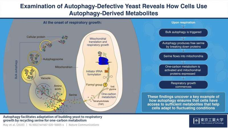 Amino acid recycling in cells: Autophagy helps cells adapt to changing conditions