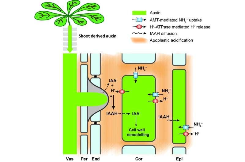 El amonio desencadena la formación de raíces laterales.