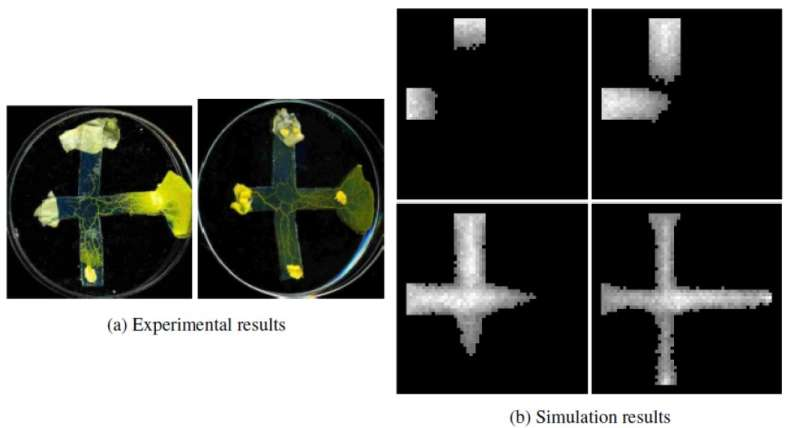 A model to design logic gates inspired by a single-cell organism