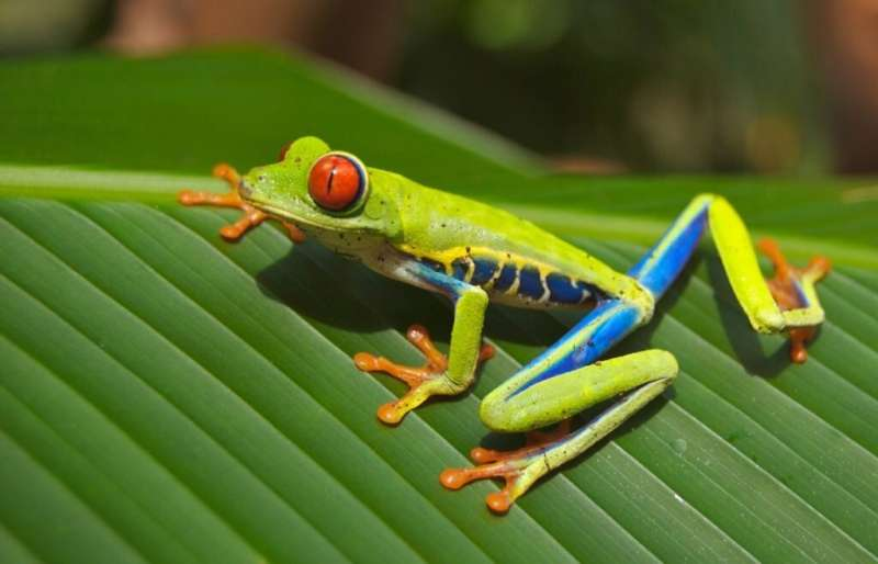 Amphibian die-offs worsened malaria outbreaks in Central America