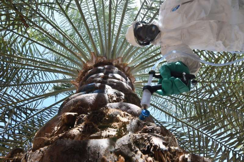 An Abu Dhabi government worker injects a date palm to combat the destructive red weevil