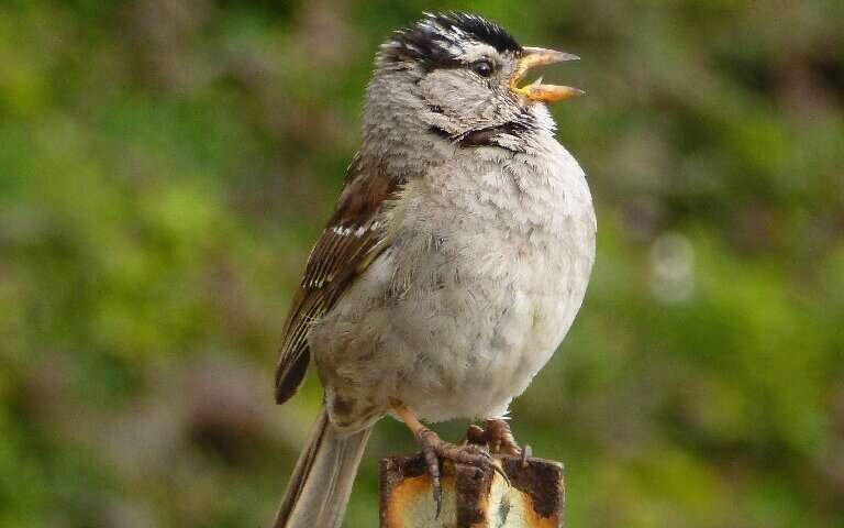 A new paper adds to a growing body of research describing how animals—from whales to coyotes to the white-crowned sparrow (seen