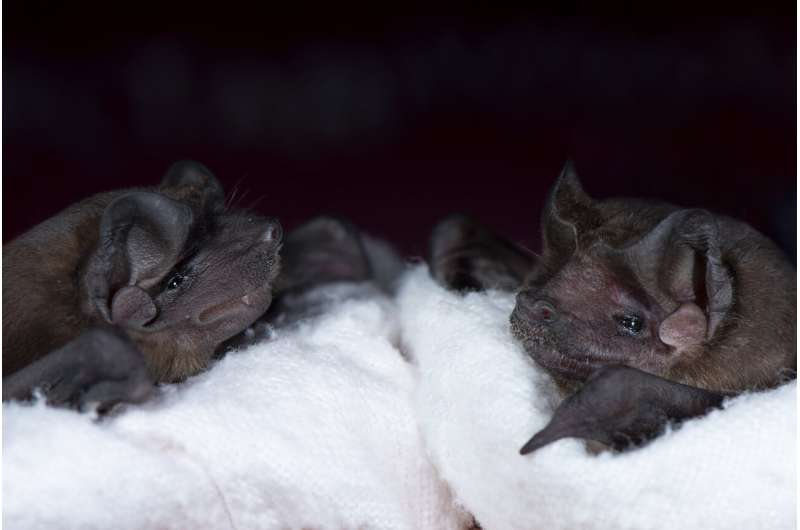 A new social role for echolocation in bats that hunt together