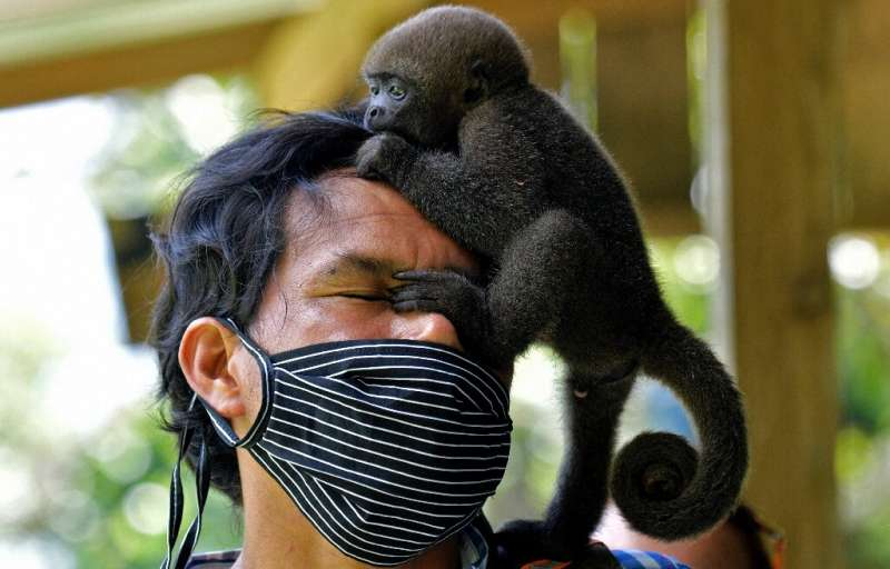 An infant woolly monkey (Lagothrix lagotricha) climbs on the head of the director of the Maikuchiga foundation, Jhon Jairo Vasqu