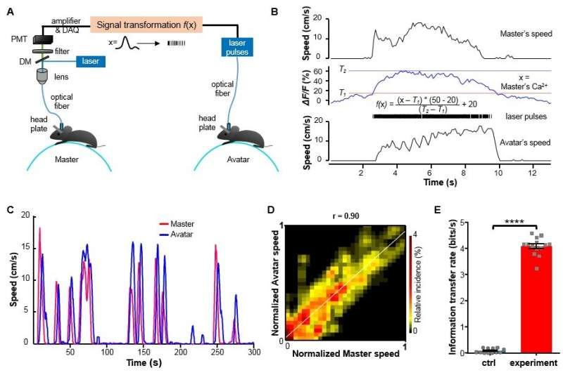 An optical brain-to-brain interface supports information exchange for locomotion control