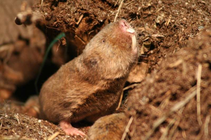 Ansell's mole-rats found to use their eyes for south-easterly orienteering