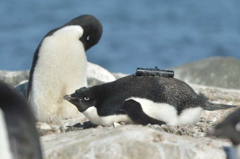 Antarctic penguins happier with less sea ice