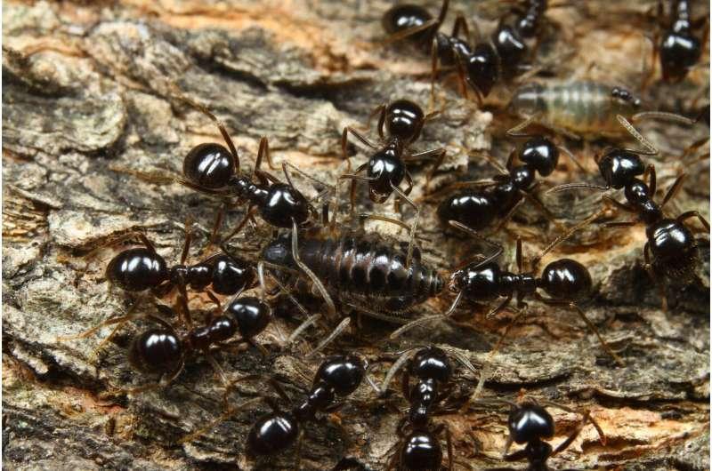 Ants or plants? Evolutionary diversification factors of aphids