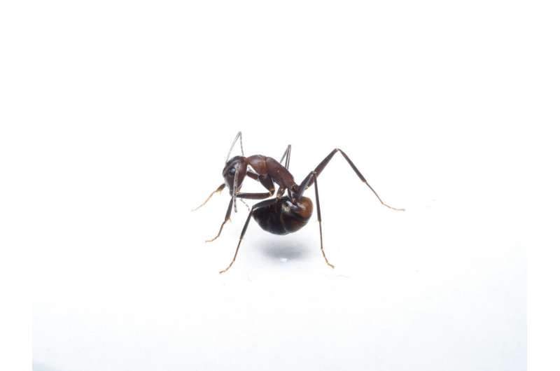 Ants swallow their own acid to protect themselves from germs