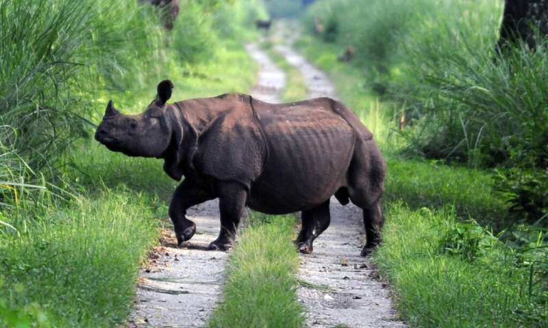 A one-horned rhinoceros crosses a road in India's Jaldapara wildlife sanctuary in 2009, the same park where five of the animals