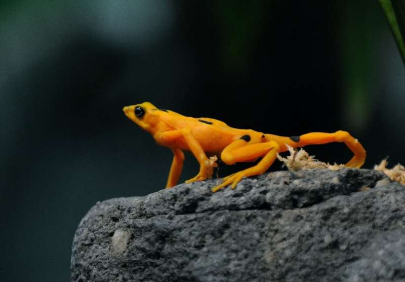 A Panamanian golden frog is pictured at El Nispero Zoo and Botanical Garden, east of Panama City, in 2009