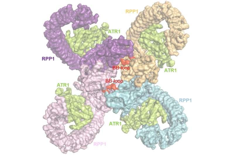A plant immune receptor: It takes four to tango