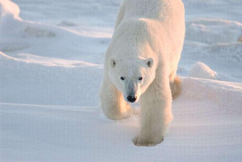 A polar bear in Churchill, Manitoba, Canada, in 2007