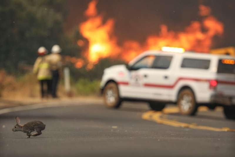 A rabbit crosses the road with flames from a brush fire along Japatul Road during the Valley Fire in Jamul, California on Septem