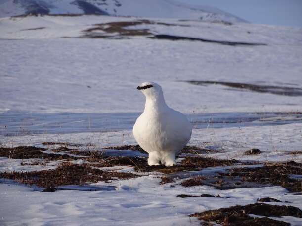 Arctic wildlife uses extreme method to save energy