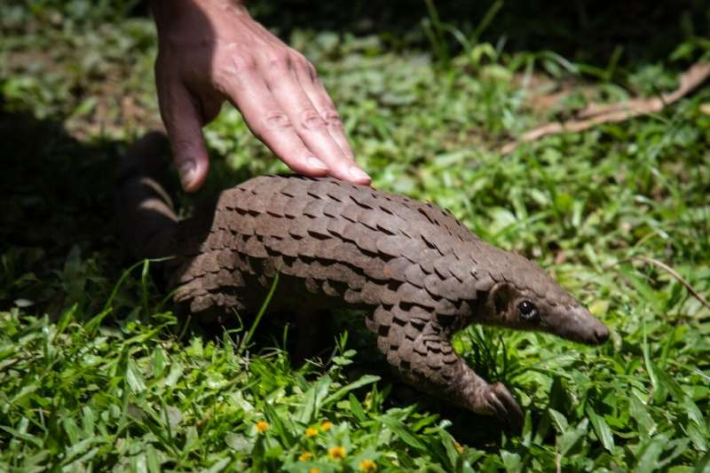 A rescued pangolin in Uganda. International trade in pangolins is illegal but its body parts have been sold on the black market