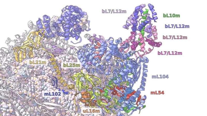 A ribosome odyssey in mitochondria
