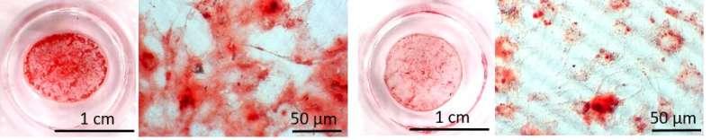 Artificial muscle sheets transform stem cells into bone
