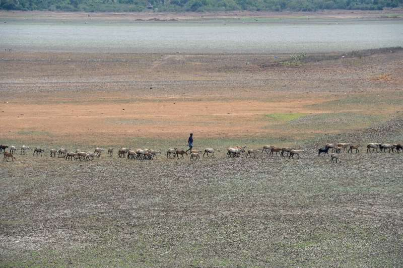 A shepherd and their livestock walk across a dried out reservoir on the outskirts of Chennai in June 2019. The drought-hit city