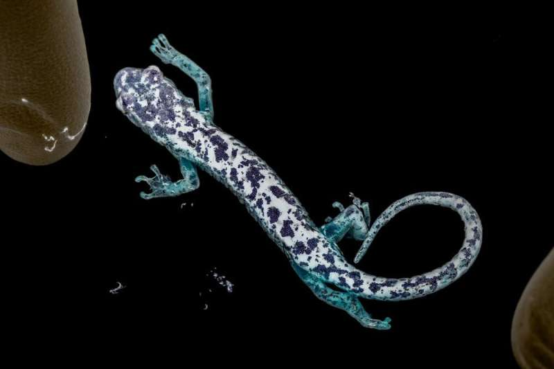 A skin-eating fungus from Europe could decimate Appalachia's salamanders – but researchers are working to prevent an outbreak