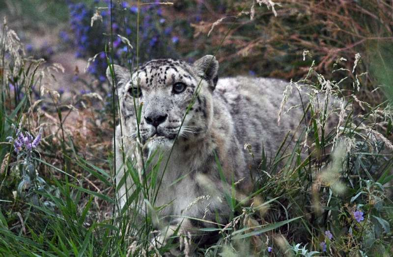A snow leopard in Kyrgyzstan. As few as 4,000 of the big cats could be left in the high mountains of Asia according to the World