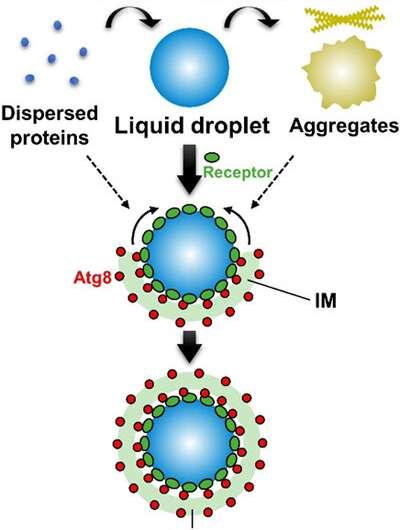 Autophagy degrades liquid droplets, but not aggregates, of proteins