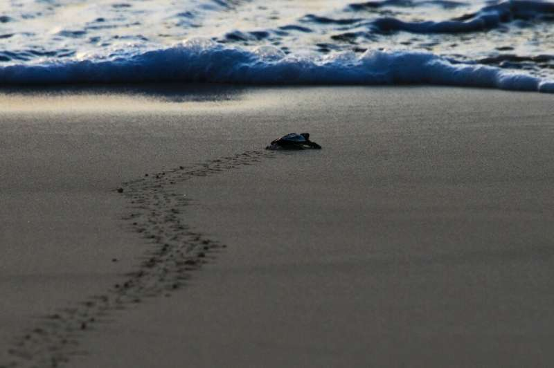 Baby sea turtles are their most vulnerable when they first hatch and make the run for the sea