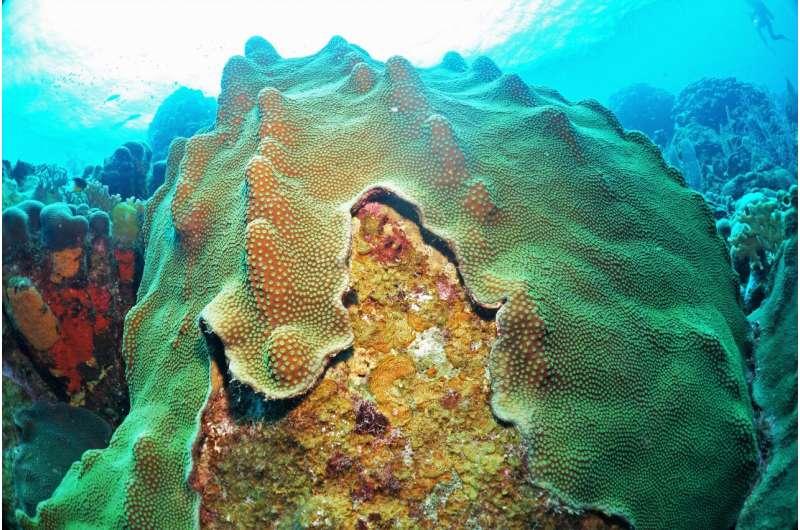 Bacteria fed by algae biochemicals can harm coral health