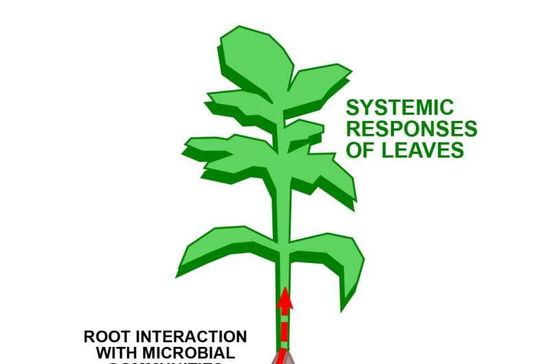 Influenciadores bacterianos: el microbioma de la rizosfera media la exudación del metabolito de la raíz