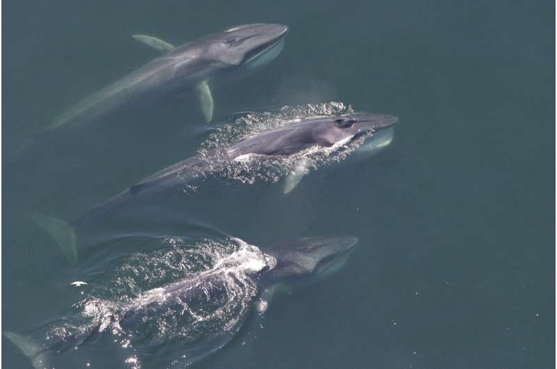 Baleen whales have changed their distribution in the Western North Atlantic