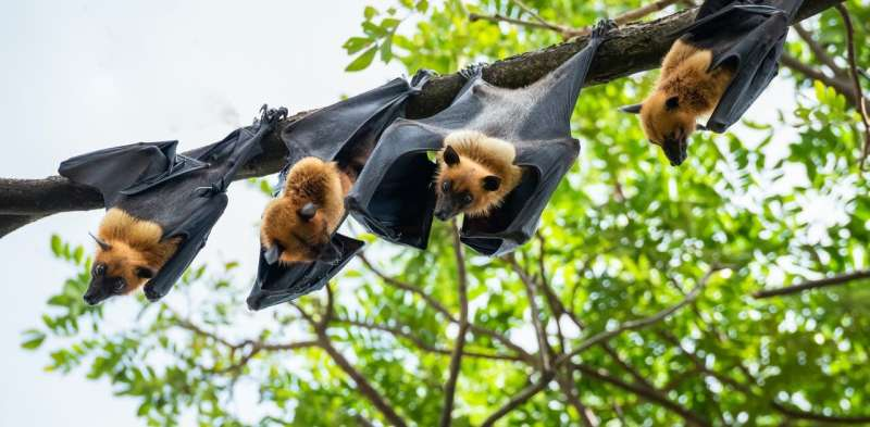 Bats are hosts to a range of viruses but don't get sick – why?