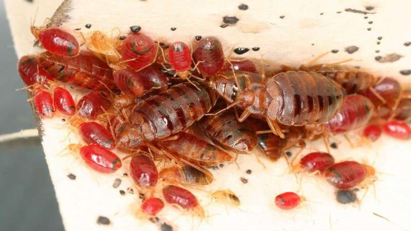 Bed bugs modify microbiome of homes they infest
