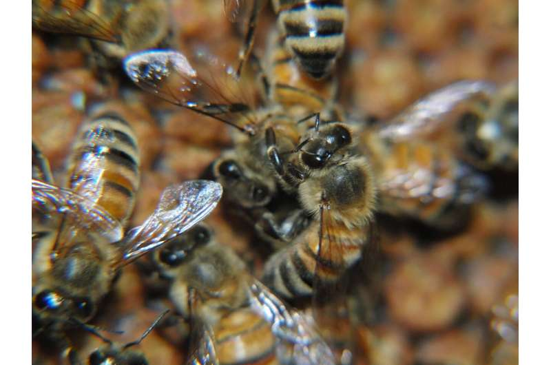 Bees grooming each other can boost colony immunity