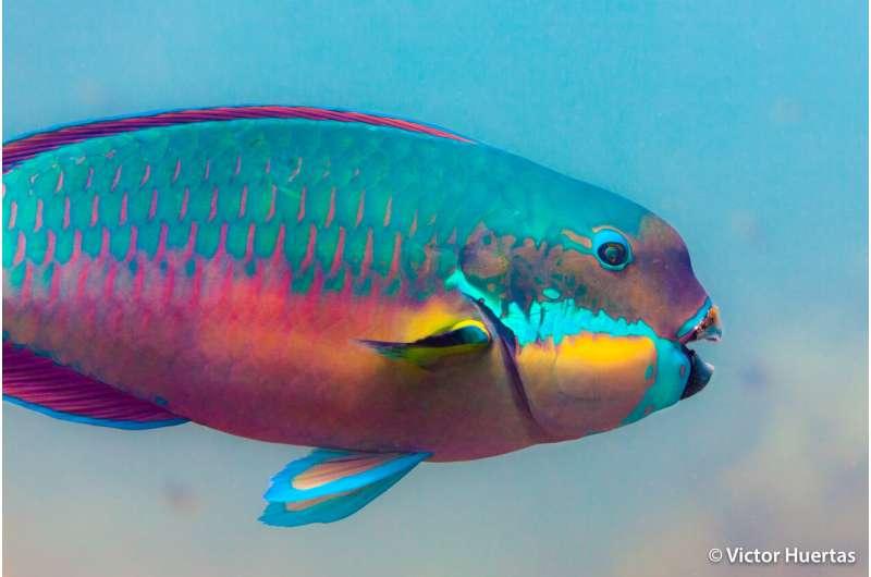 Big vegetarians of the reef drive fish evolution