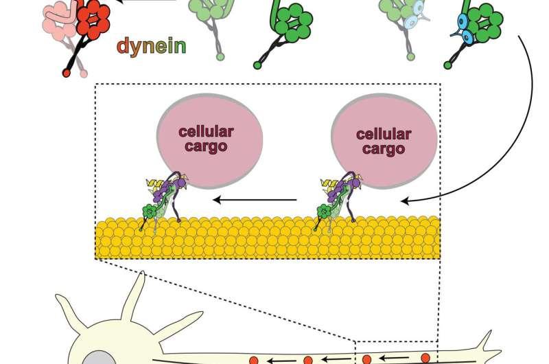Biochemists unveil molecular mechanism for motor protein regulation