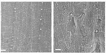 Biologists unravel tangled mystery of plant cell growth