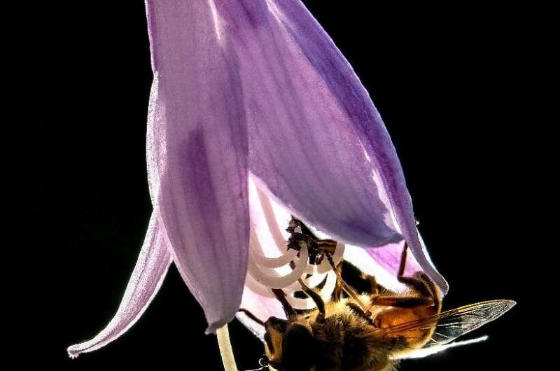 El biocientífico Karl Wotton y su equipo argumentan que las moscas volantes son a veces polinizadores incluso más efectivos que los abejorros