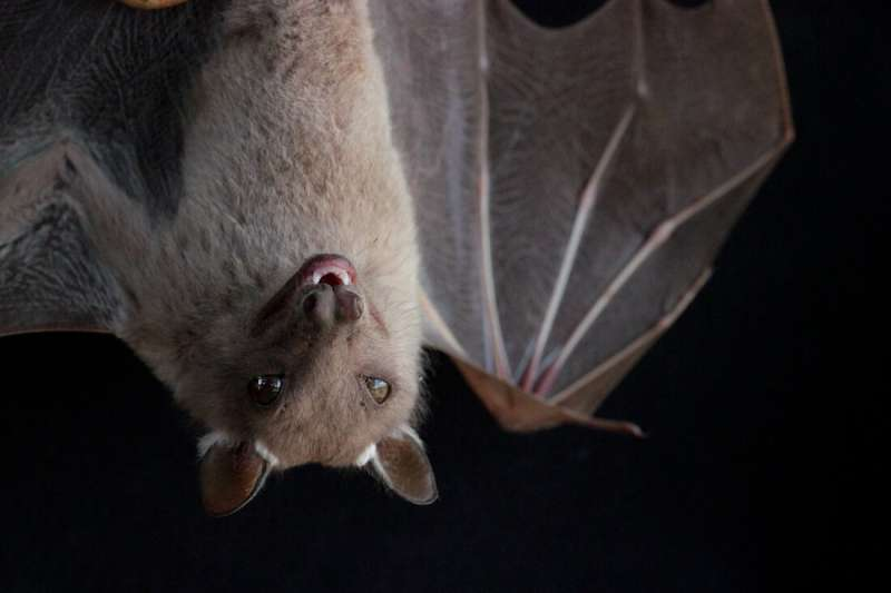 Birds and bats have strange gut microbiomes -- probably because they can fly
