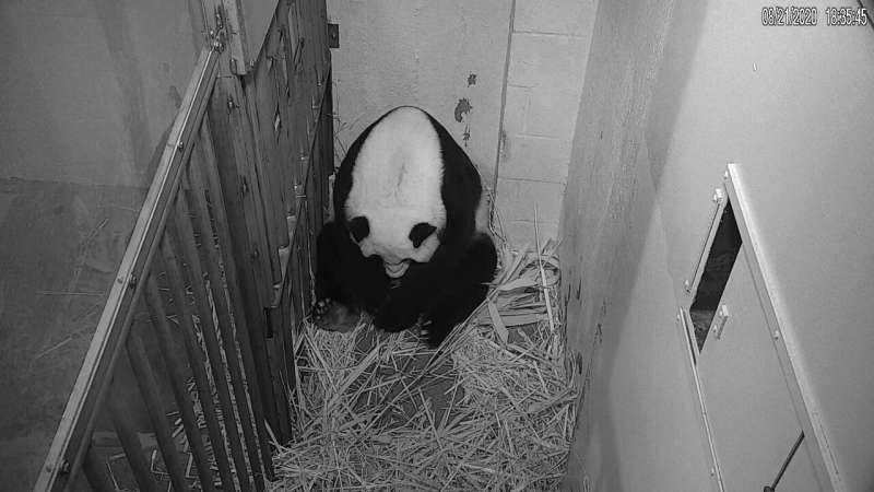 Birth of panda cub provides 'much-needed moment of pure joy'