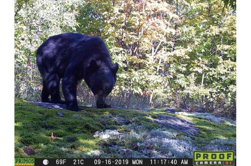 Black bear gut biome surprisingly simple, scientists say
