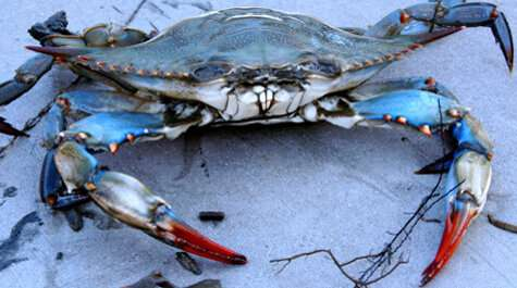 Blue crab stock remains within healthy range