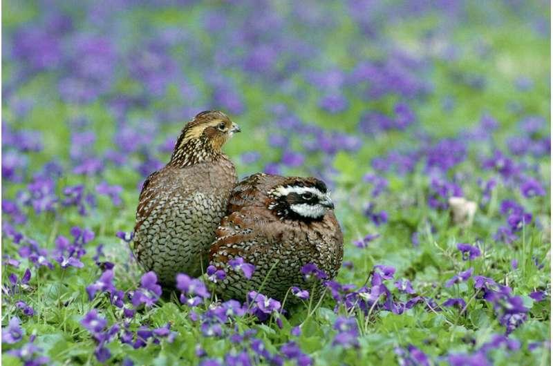 Bobwhites listen to each other when picking habitat