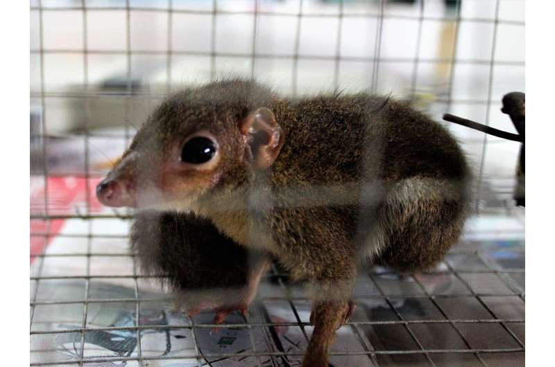 Bornean treeshrews can take the heat