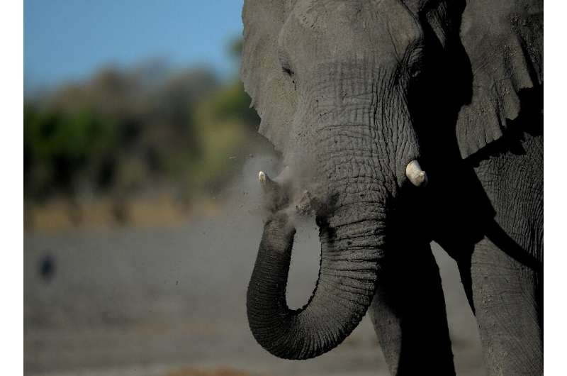 Botswana is auctioning licences to kill elephants by trophy hunters, a move that has sparked widespread anger