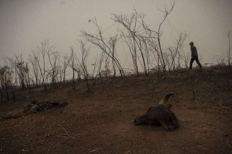 Brazilian tour guide Roberto Carvalho Macedo looks for signs of an injured jaguar in a burnt area of the Pantanal, the world's l