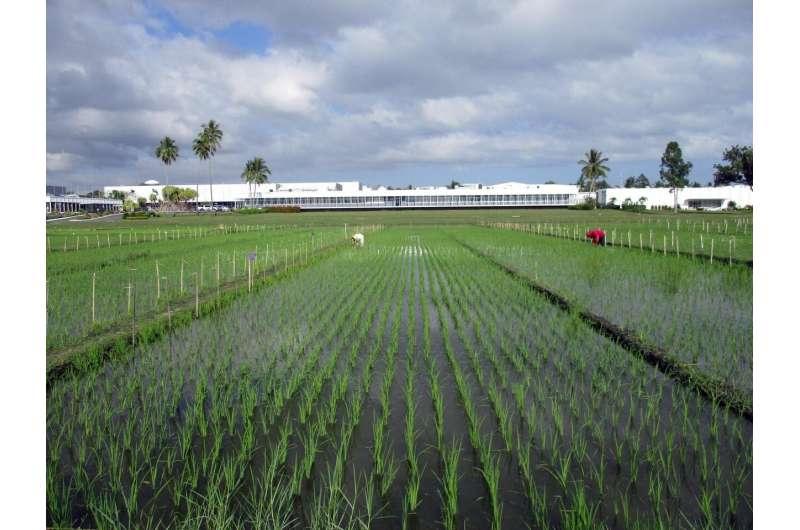 Breeding new rice varieties will help farmers in Asia